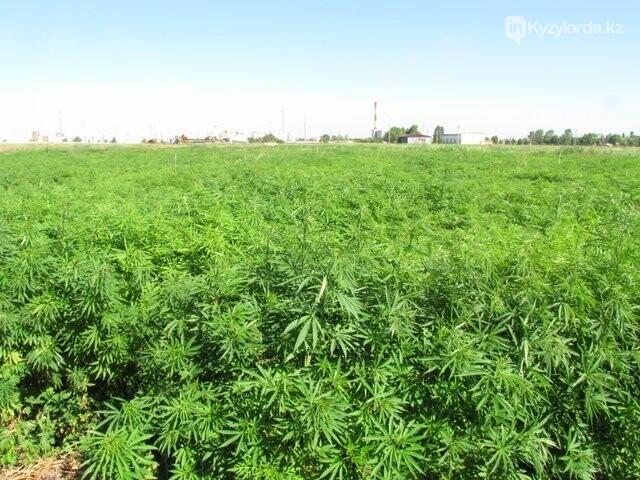 По делу о конопляном поле под Кызылордой вынесены приговоры, фото-1